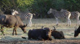 Zebras und Büffel